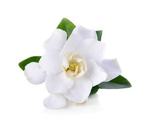Holistic IVF White Flower